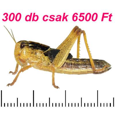 Ázsiai vándorsáska 3-as méret 300 db