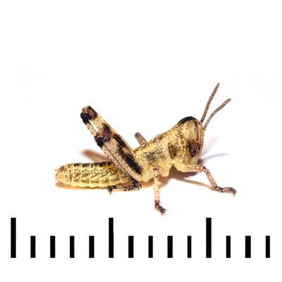 Ázsiai vándorsáska 1-es méret